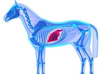 Schema du foie cheval