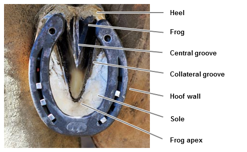 Diagram horse frog thrush
